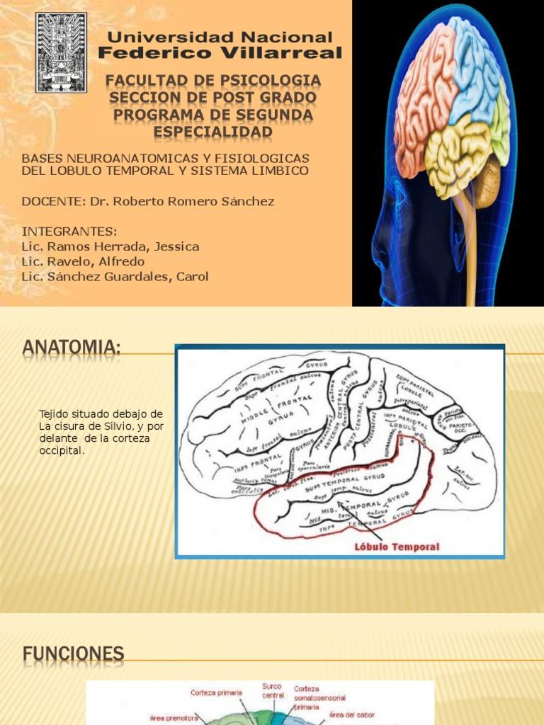 Único Lóbulo Temporal Anatomía Mri Ilustración - Anatomía de Las ...