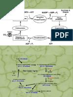 Fotosintesis y Ciclo de Krebs[1]