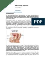Anatomía Del Aparato Genital Masculino