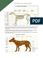 Anatomía canina