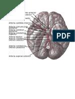 cerebro y arterias.docx