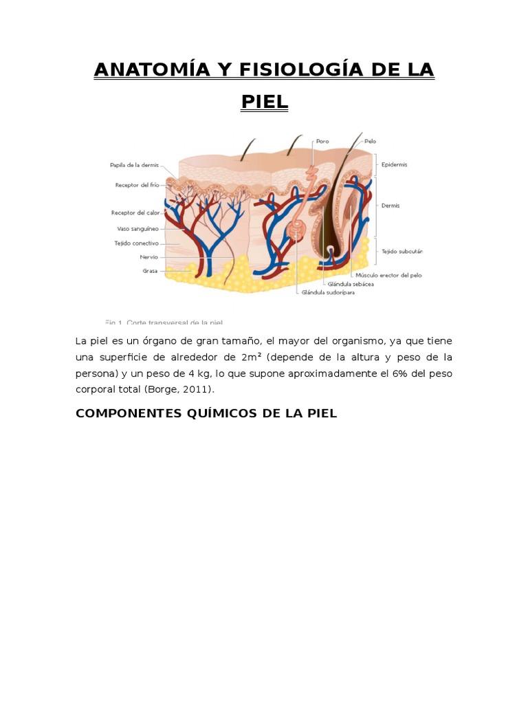 Atractivo La Anatomía Y Fisiología De La Piel Friso - Anatomía de ...
