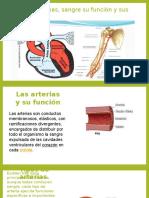 Anatomia Arterias