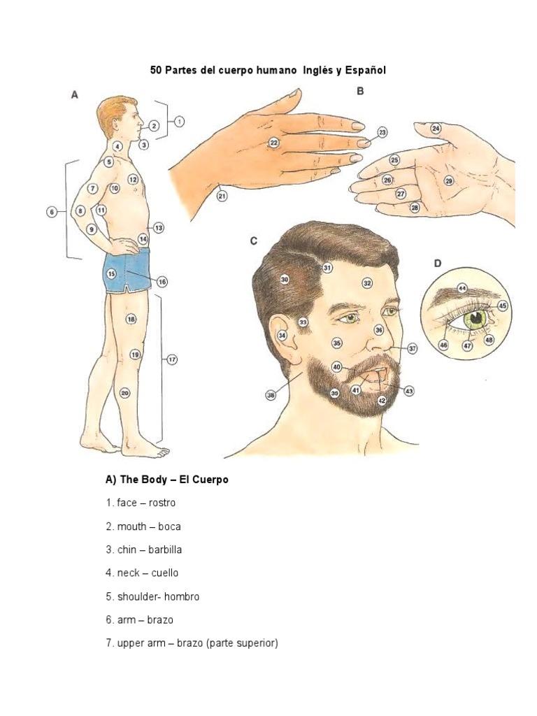 Vistoso Partes De Cuello Del Cuerpo Humano Modelo - Anatomía de Las ...