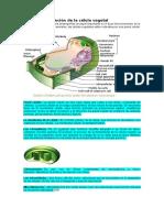 Estructura Celula Vegeta