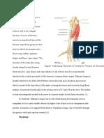 Palmaris Longus Muscles