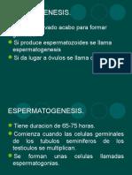espermatogenesis-100827235952-phpapp01