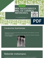 Anatomía Radiográfica Normal de Caninos Inferiores