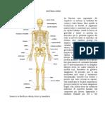 Anatomia Del Esqueleto Humano o Sistema Oseo ( Isela ) 26-01-2016