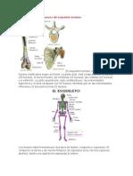 Clasificación de Los Huesos Del Esqueleto Humano