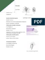 Giardia Intestinalis Trofozoito