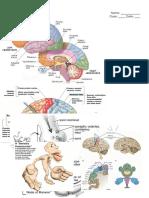 worksheet brain homunculus action potential reflex arc