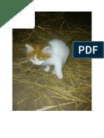 Pisicuță bicolora