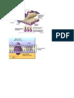 gambar biosel