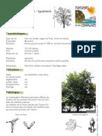 Acer pseudoplatanus