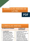 Glándulas Anexas de La Piel (1)