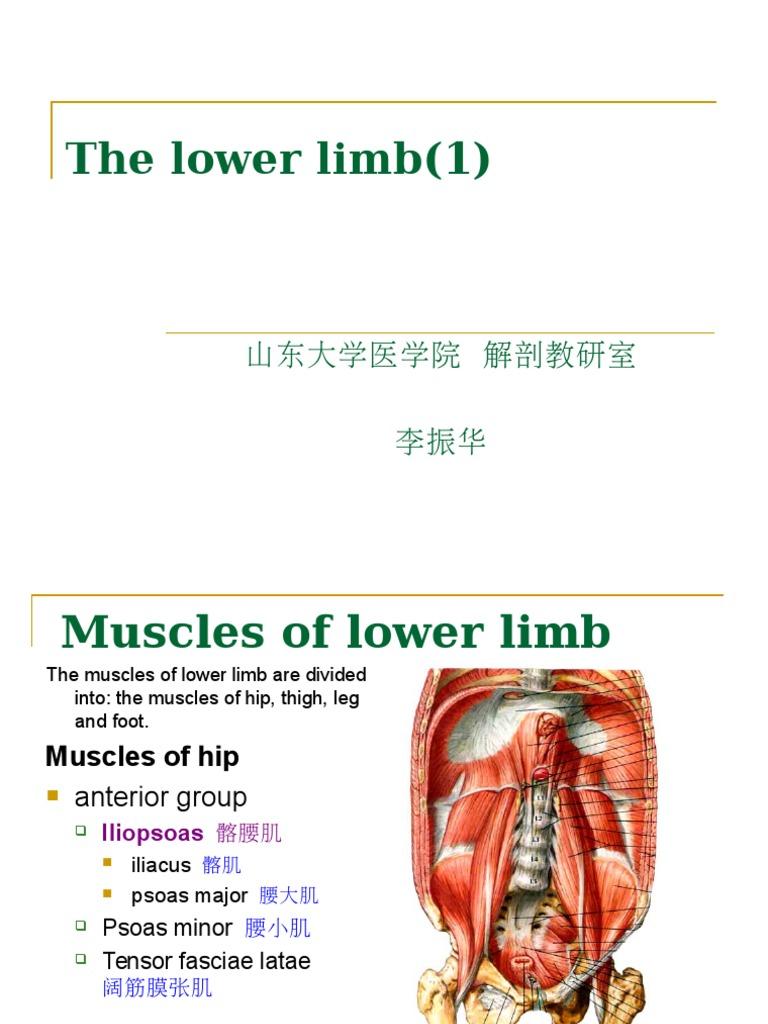 The Lower Limbppt Human Leg Foot