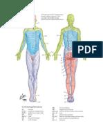 Gambar dermatome dan myotom