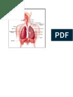 respiration.doc