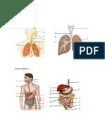 Sistema Resp. Digest e Dentes