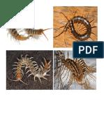 Centipede Millipede