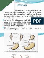 estomago-100112164159-phpapp01