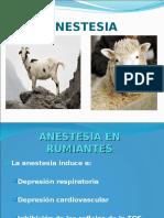 anestesia rumiantes
