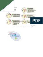 Fagositosis Adalah Proses Seluler Dari Fagosit Dan Protista Yang Menggulung Partikel Padat Dengan Membran Sel Dan Membentuk Fagosom Internal