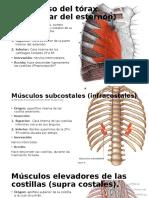Músculos Elevadores de Las