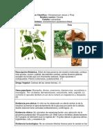 Cinnamomum Verum Canela