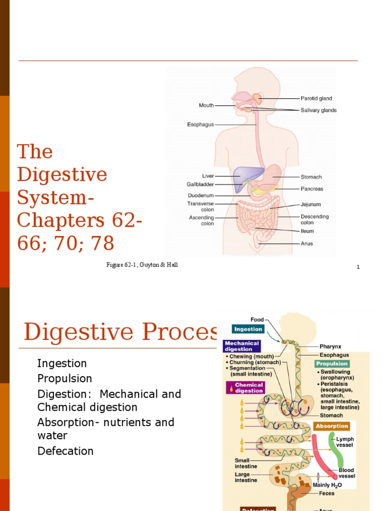 Diagram Of The Body Mainly Showing The Digestive System
