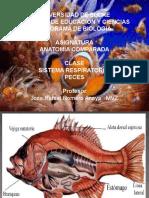 Sistema Respiratorio en Peces 1276878491 Phpapp01