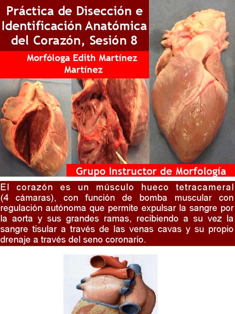 Perfecto La Anatomía Del Músculo Del Corazón Colección - Imágenes de ...