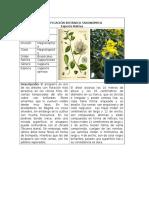 Clasificación Botánica Taxonómica Trabajo Colavorativo