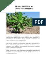 Mejoran Plátano de Molino en Laboratorios de Chavimochic