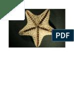 echinodermata gambar