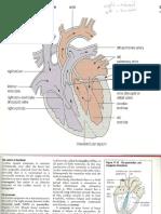 Heart Diagram Iniation of Heart Beat