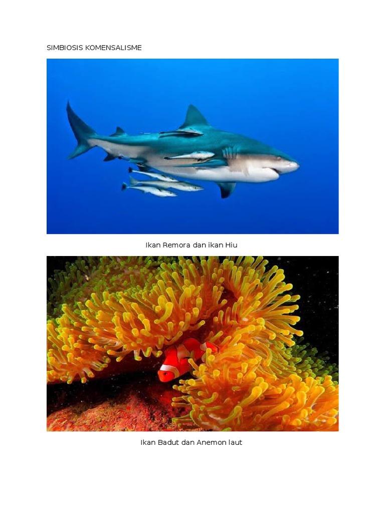 Unduh 4400 Gambar Simbiosis Ikan Badut Dan Anemon Laut HD Terbaru