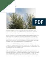 El origen del olivo.docx