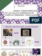 embrio 1.pptx