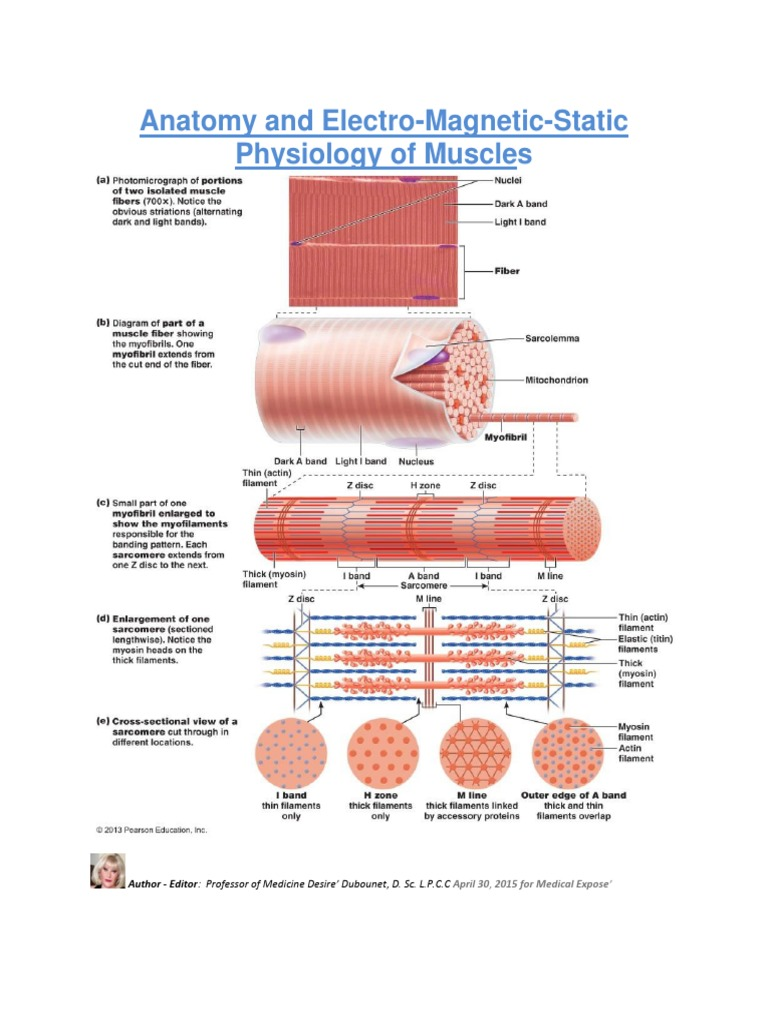 Anatomy and Electro-Magnetic-Static Physiology of Muscles | Muscle ...