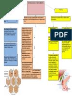 glandulas anexas.docx