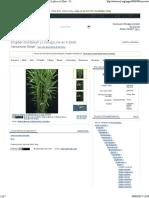 [EoL] Zingiber montanum