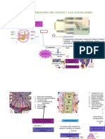 Desarrollo Embrionario Del Hígado y Las Vias Biliares