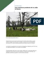Vacas Mueren Por Rayo