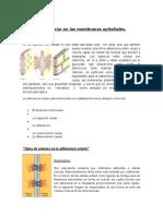 Adherencia celular en las membranas epiteliales.docx