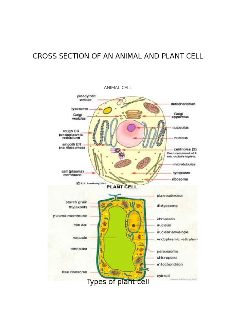 Cross Section of an Animal and Plant Cell | Myocyte | Muscle