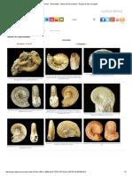 Fósiles - Ammonites - Álbum de Ammonitina - Región de Murcia Digital.pdf
