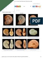 Fósiles - Ammonites - Álbum de Phylloceratida - Región de Murcia Digital.pdf