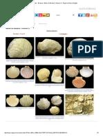 Fósiles - Bivalvos- Álbum de Bivalvos2.pdf